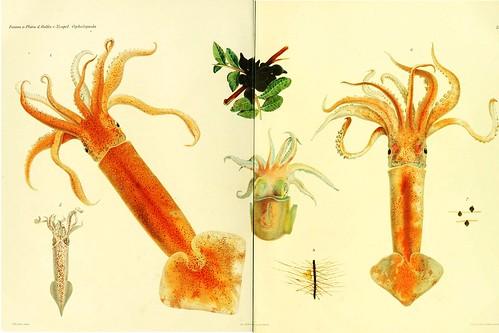 002-I Cefalopodi viventi nel Golfo di Napoli-1896-Giuseppe Jatta