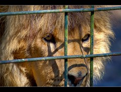 Regard lointain d'un lion en cage (www.fromentinjulien.fr) Tags: city morning light france animal photoshop french effects zoo high flickr dynamic minolta sony lion cage cs capitale