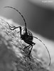 Beetle (acvidrich) Tags: pictures white black bug insect photography photo montana beetle antenna pinchers