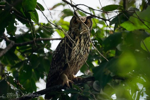 Indian Eagle-Owl also called the Rock Eagle Owl or Bengal Eagle Owl (Bubo bengalensis)