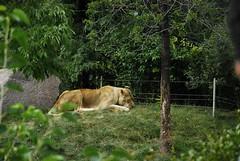 Munching Lioness