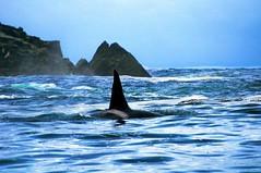 "_DSC7661 ""orca, the comedian""     19.0k (ChanHawkins) Tags: orcas killerwhales queencharlottes haidagwaii kindakun"