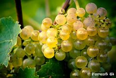 Vidal Icewine Grapes at Inniskillin (Forest Wang) Tags: ontario canada niagarafalls niagara wineyard niagaraonthelake inniskillin niagraonthelake summer2011 inniskillinwineestate