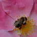 pink rose, bee