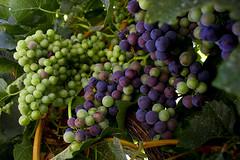 Riesling (·júbilo·haku·) Tags: canada bc wine britishcolumbia okanagan kelowna uva grape vino canadá uvas britakolumbio kanado columbiabritánica prames vinberbo vinberboj