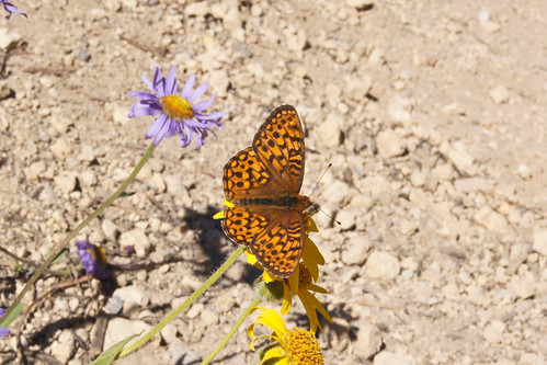 Fritillary at Crater Lake