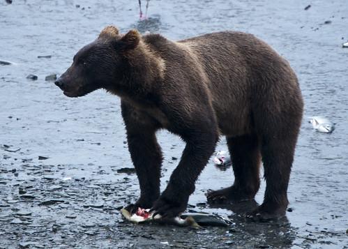 Young brown bear eating salmon