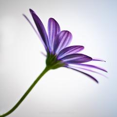 Daisy (_Opeth_) Tags: flower composition petals daisy fiore petali margherita composizione