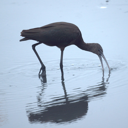 Ibis from Brigantine