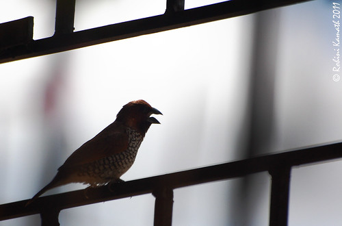 Spotted Munia backlit
