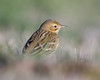 Pipit Bokeh 2 (Andrew Haynes Wildlife Images) Tags: bird nature rugby wildlife pipit meadowpipit draycotewater ajh2008 warawickshire