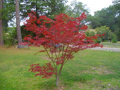 memorial Japanese maple (gurdonark) Tags: red tree leaves japanese maple william will nunnally
