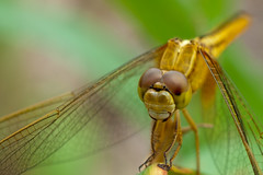 Dragonfly #10 (thai-on) Tags: macro nature insect thailand nationalpark nikon dragonfly creature d3 worldheritage khaoyai physis prachinburi