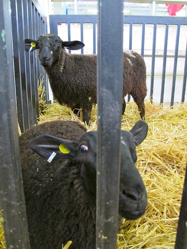 at the fair: black sheep
