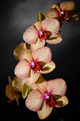 Orchids for Mom (TonyMaiello) Tags: pink flowers red orange plants black orchid green yellow grey orchids mosaic flash gray strobist canon580exii canon580 canon7d diagnollines canon18200mm