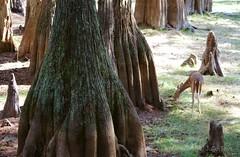 Big Cypress Trees (jupitersnest) Tags: tree nature animals florida deer cypress fl captive mammals whitetail tallahasseemuseum captvity