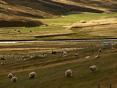 F af fjalli (h) Tags: green landscape countryside iceland sheep farm kindur f sveit hnavatnsssla hnaver