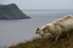 sheep trail (bluerapsody) Tags: sea wild mountain wool wet norway walking sheep trail rainy hazy grassland steep cliffy runde