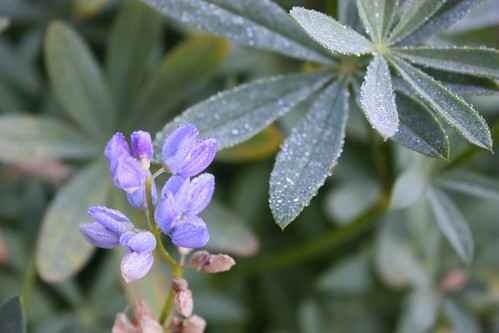 Lupine with Frost Drops
