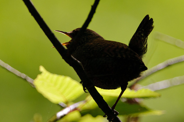 みそさざい ~軽井沢野鳥の森~