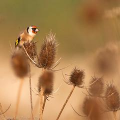 European Goldfinch (Carduelis carduelis) (Jeluba) Tags: bird nature canon aves ornithology birdwatching oiseau birdwatcher cardueliscarduelis europeangoldfinch stieglitz chardonneretlgant avianexcellence
