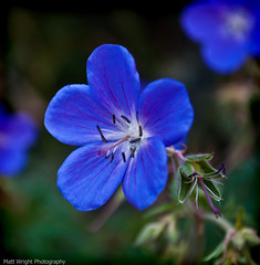 Blue Poison (Matt Wright.) Tags: blue wild england flower macro nature up matt photography photo google woods nikon close purple leicestershire leicester mother stunning wright mm wilderness nikkor 18 55 mdw burbage hinckley d5000 blinkagain bestofblinkwinners