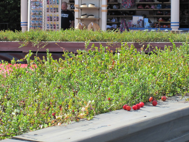 Cranberry Plants