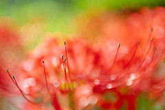 Red Bokeh Spider lily (shinichiro*) Tags: autumn flower macro fall september crazyshin  2011 nikond3 afsnikkor2470mmf28ged  20110930dsb3054