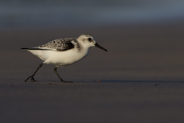 sanderling running across beach