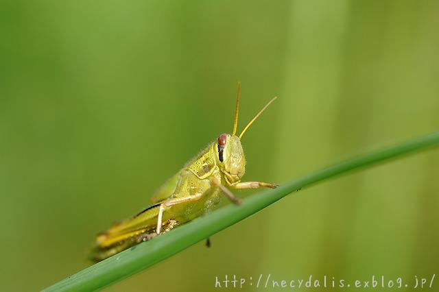 タイワンツチイナゴ [Patanga succincta] larva