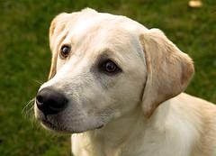 Bruce 1 (Stephen Piggott Photography) Tags: dog animal labrador bruce flickerunitedaward stephenpiggottphotography