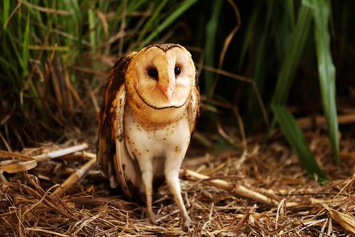 居住在平地草叢的草鴞其實很難發現。(攝影:李文化,高雄鳥會提供)