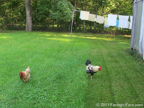 Lawn care chicken patrol 2 - FarmgirlFare.com