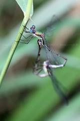 Lestes viridis I