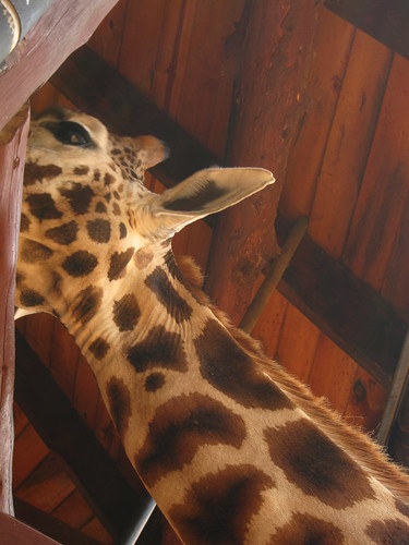 giraffe nairobi kenya africa by Danalynn C