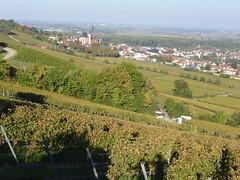 In den Weinbergen über Oppenheim