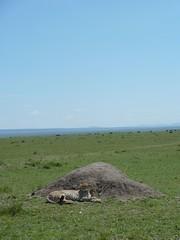Cheeta, Masai Mara (Carlos Affonso) Tags: africa kenya safari masai maasai savanna masaimara maasaimara savana qunia