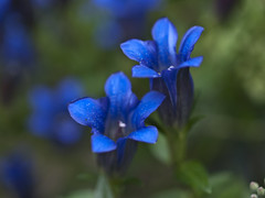 Enzian (dolorix (on/off)) Tags: blue autumn flower nature herbst natur blau blume gentian enzian gentiana