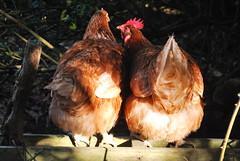 CHICKEN SITTIN' (Di's Free Range Fotos) Tags: uk food pet sunlight west chicken sussex sitting natural preening cleaning grime range grub steal stealing warrens inspecting behaviour pecking ffree