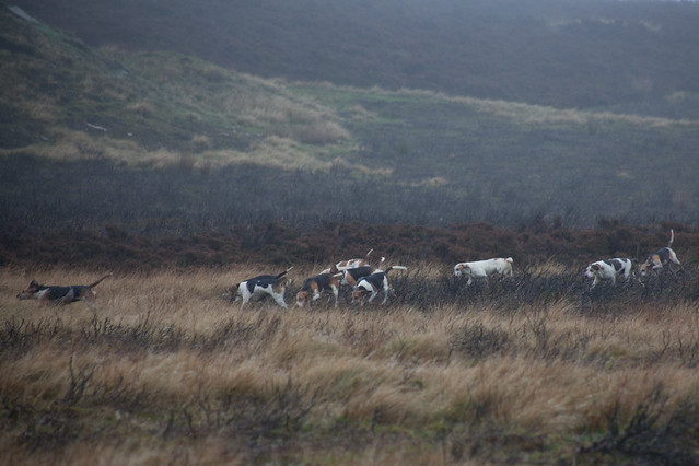 Beagles on the Moor