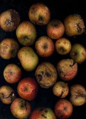 windfalls (Podkin) Tags: autumn scanner decay apples rotten mould mouldy windfalls scanogram