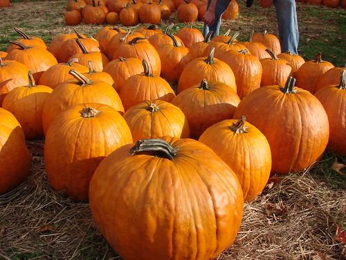 Pumpkins at Rose Orchards