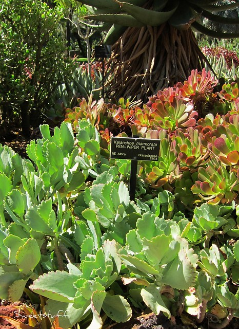 Kalanchoe marmorata 'Pen-Wiper Plant'