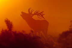 Misty morning roar! [Explored - 16th October 2011] (asbimages.co.uk) Tags: park morning autumn sunset sun mist fall nature animal fog sunrise dawn stag dusk wildlife deer backlit roar reddeer roaring baying rut bushypark bushy rutting cervus cervuselaphus elaphus beastofbushy