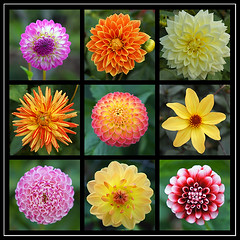 Dream Garden (hehaden) Tags: dahlia flower castle collage garden square somerset dunster exmoor dreamgarden wonderfulworldofflowers