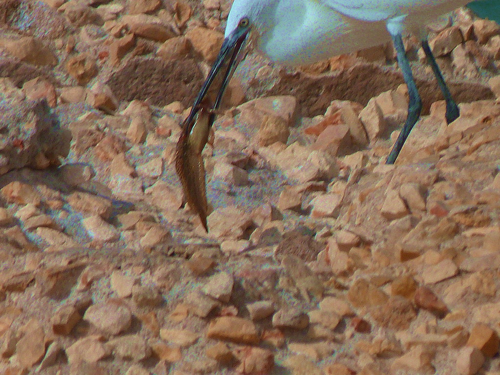 21-10-2011-egret-eating-fish4