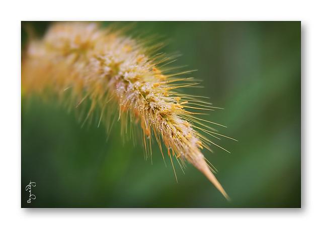 Bunga Lalang