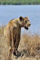 Nomadic Lioness (nawapa) Tags: world africa heritage animal tanzania mammal site lion conservation unesco east safari ngorongoro crater lioness arusha 2011 nawapa