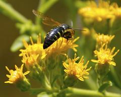 Sand Wasp (milesizz) Tags: wisconsin milwaukee wi apoidea sandwasp seminarywoods crabronidae bicyrtes sandwasps bembicinae apoidwasps bembicini sphecida bicyrtesquadrifasciatus bembicina
