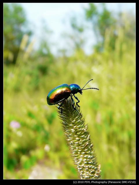 Dogbane Beetle (Chrysochus auratus)